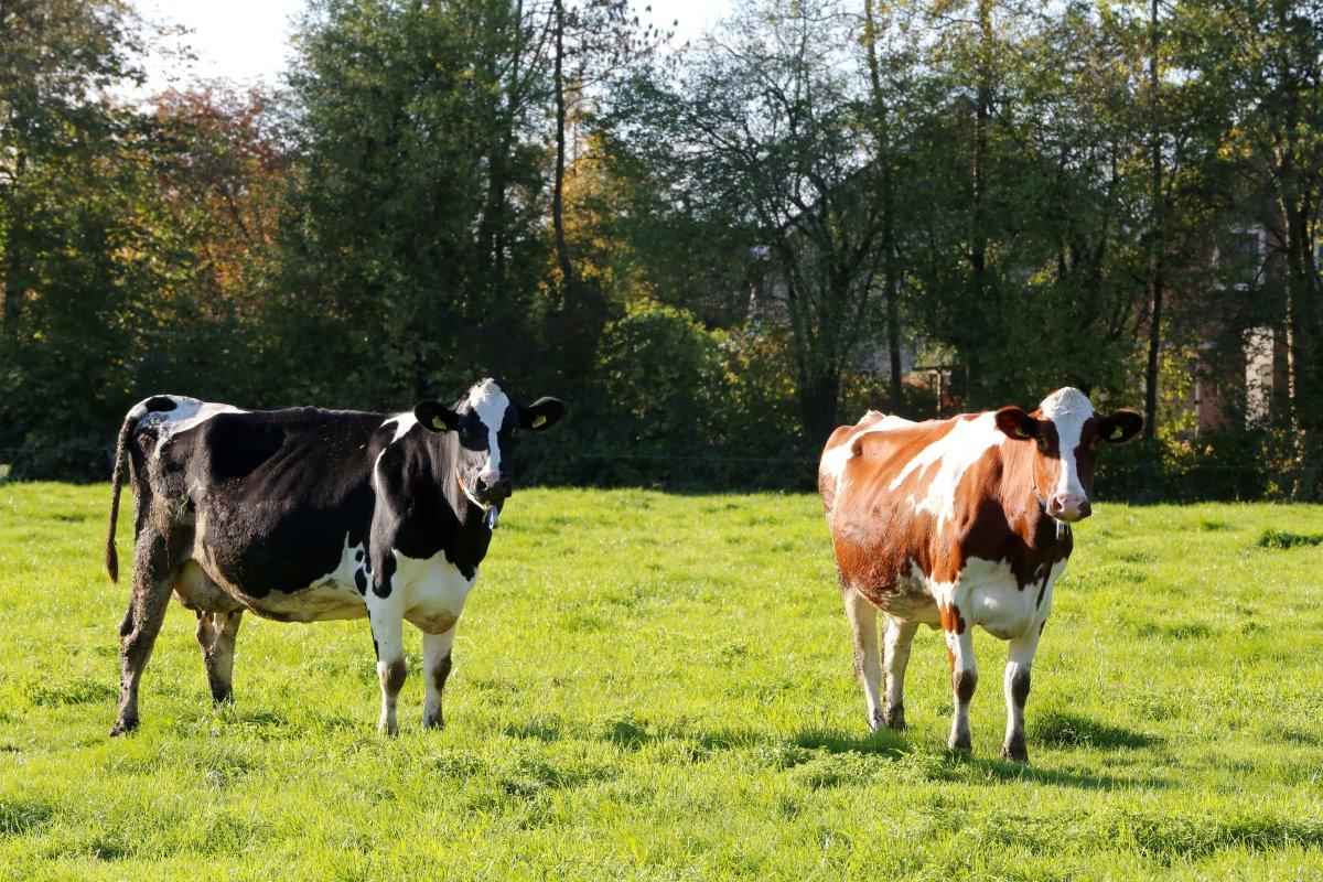 wanneer geeft koe melk